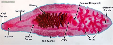 Diagram Of Tapeworm Liver Fluke Earthworm Hydra With Labelling 10092557 Meritnation Bio385 Flatworms