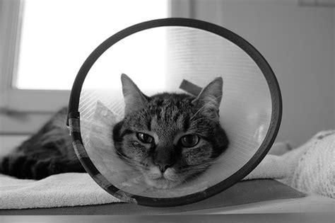 should i neuter my should i get my cat neutered