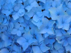 flowers wallpapers blue flowers wallpapers