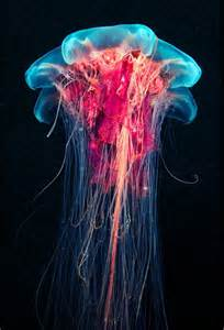 colorful jellyfish neon blue pink color on portuguese of war