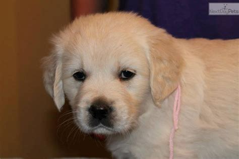 golden retriever puppies in arkansas golden retriever puppy for sale near rock arkansas 2698595d 9601