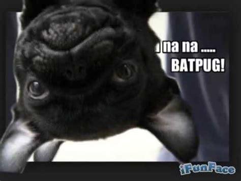 bat pug well bat pug everyone xd