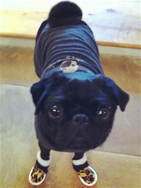 pug booties millie mackintosh s pet pug martha wears special shoes celebsnow