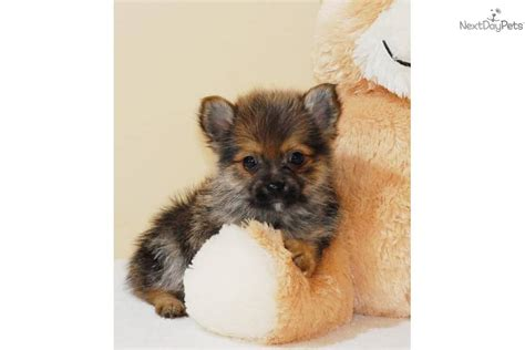 yorkie poo puppies for sale sc yorkie poo puppies for sale in sc wings picture breeds picture