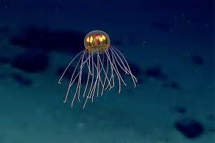 Mariana trench home to brilliantly bioluminescent jellyfish video