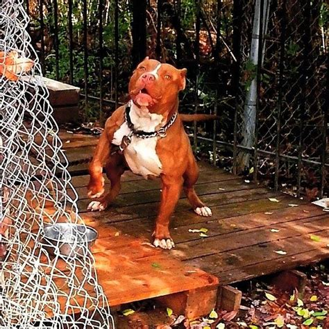 Best Pit Best Pitbull Bloodlines Different Types Of Blue