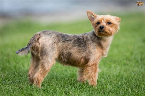 what of yorkies are there health issues commonly seen in terriers pets4homes
