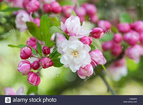 Apple Tree Blossoms Images