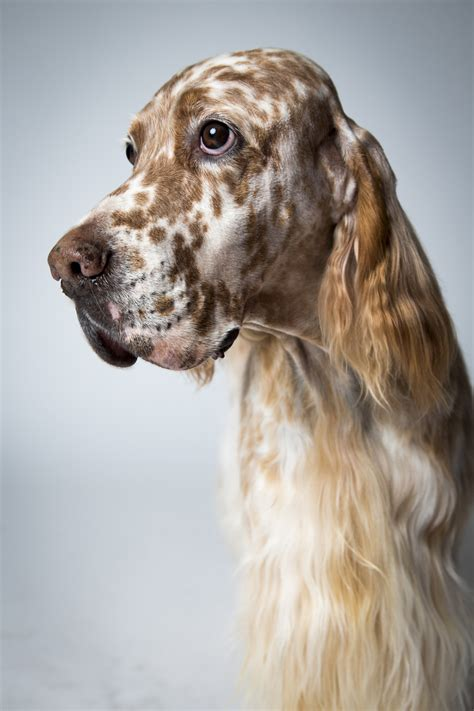 setter dogs pictures english setter dogs hounds and sporting pinterest