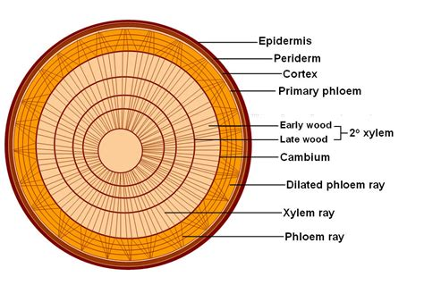 cross section of a woody stem plant bodies stems