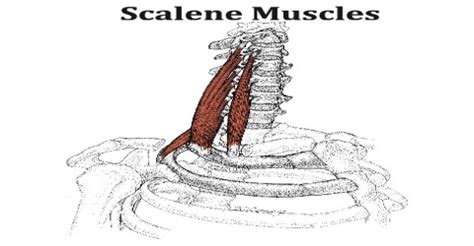 Agriculture And Engineering Engineering and Marketing ... Scalene Muscles
