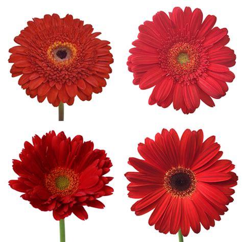 gerber daisies gerber flower