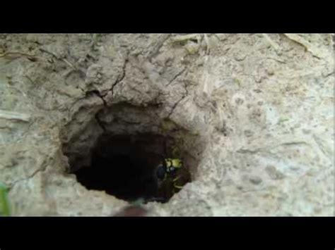 Mittel Gegen Wespen Im Dach by Wasps Wespen Funnycat Tv