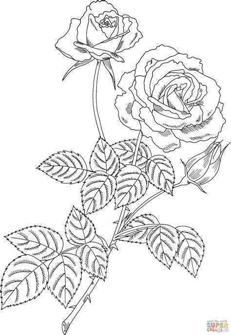 rose bush coloring page magic hybrid tea bush rose coloring page free printable