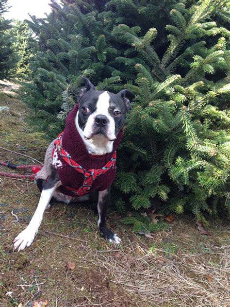 marion nc christmas tree farm little switzerland switzerland basil s travels