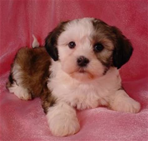 bichon and shih tzu mix more about the zuchon the shih tzu bichon frise mix soft and fluffy