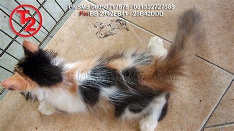 Bulu Kucing Belang 3 hamster dan kucing murah surabaya