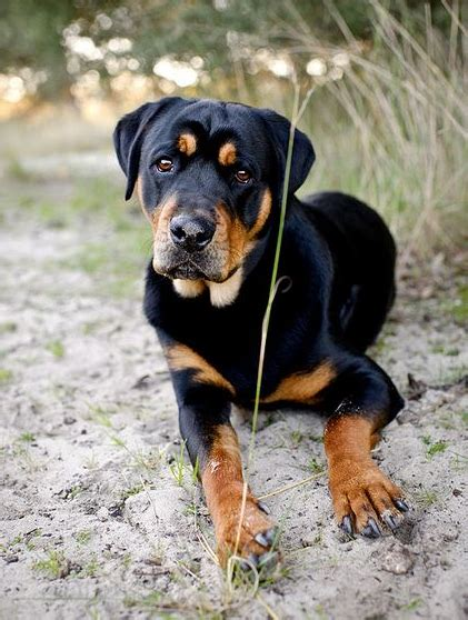 pitbull and rottweiler mixed 11 crazily rottweiler mixes you to check out now