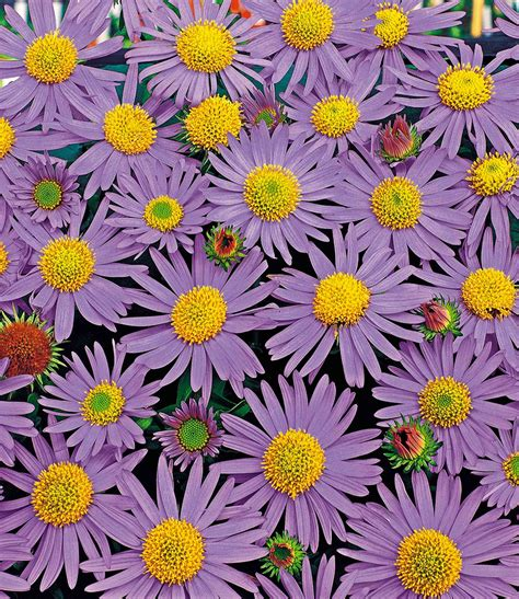 Baldur Garten Erfahrung 4424 by Blaue Chrysantheme Top Qualit 228 T Kaufen Baldur Garten
