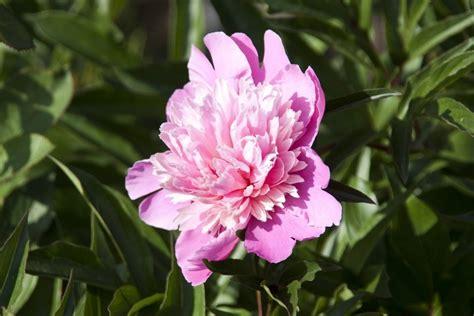 fiore peonia peonia significato fiori caratteristiche della peonia