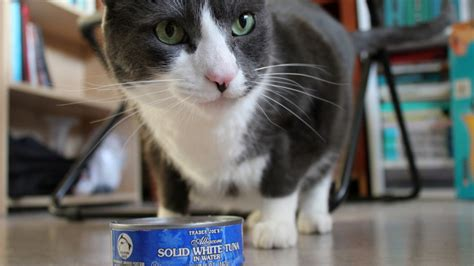 can dogs eat canned tuna all food bad for cats that you should about pets world
