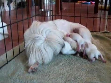 puppies being born signs your will puppy step by step doovi