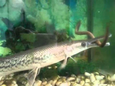 Ikan Spatula alligator gar in 50 gallon tank funnydog tv