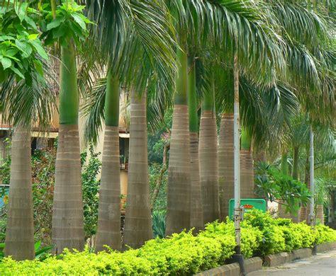 Jual Bibit Sengon Di Cirebon jual pohon palem di singkawang jual bibit tanaman unggul