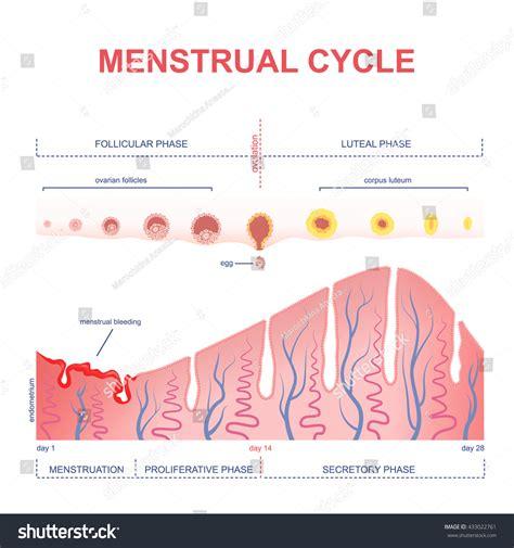 hormone cycle diagram scheme menstrual cycle level hormones stock vector