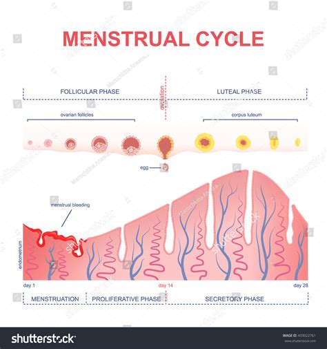 SO YOU GOT YOUR PERIOD PART 1 - St. Catherine's Schools blog Female Period Cycle