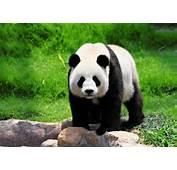 Caracter&237sticas De Panda Gigante  Viaje A Chinacom