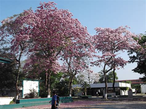 Tabebuia Rosea tabebuia rosea images useful tropical plants