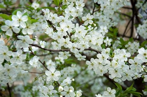 soft white cherry trees blossom background stock photo