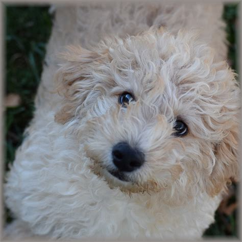 labradoodle puppies for sale missouri view our lovable labradoodle puppies labradoodle mini
