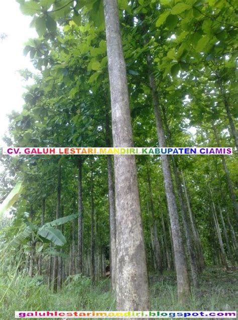 Jual Bibit Sengon Solomon Kultur Jaringan gambar pohon jati solomon umur tanam 5 tahun jati