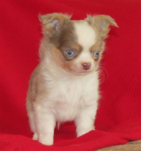 merle chihuahua puppies x will longcoat lavender merle chihuahua puppy lineals chihuahuas