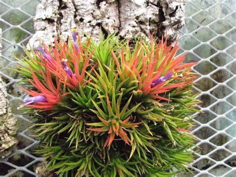 Tillandsia Blushing tillandsia ionantha bromeliaceae blushing