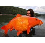 Anorak  The Goldfish That Weighs As Much Edward Nino Hernandez In