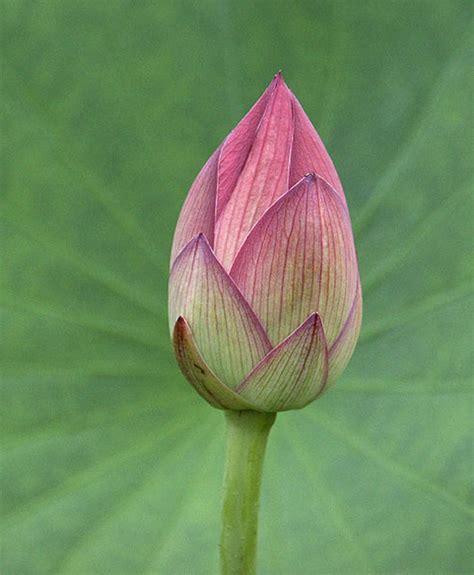 nelumbo nucifera tree sacred lotus seeds  sale