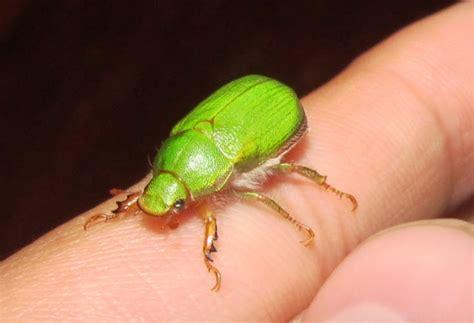 imagenes de insectos verdes especies chilenas el pololo verde o san juan hylamorpha