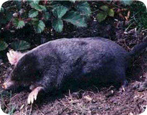 exterminators palm gardens fl florida mole removal and pest orlando fl