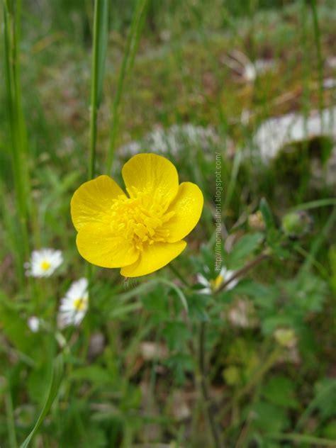 fiori gialli nome fiori gialli nomi in nome dei fiori ranuncolo comune fiori