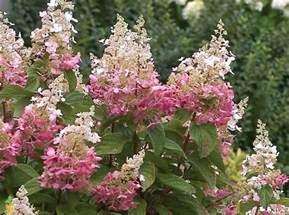 Dwarf Flowering Trees Pinky Winky 174 Hydrangea Tree For Sale The Planting Tree