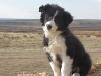 ksl free dogs 1000 images about ᏴᎾᎡᎠᎬᎡ ᏟᎾᏞᏞᏆᎬ on border collie
