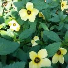 Tanaman Hias Ginseng Golden Kuning Variegata tanaman hias bunga bibitbunga