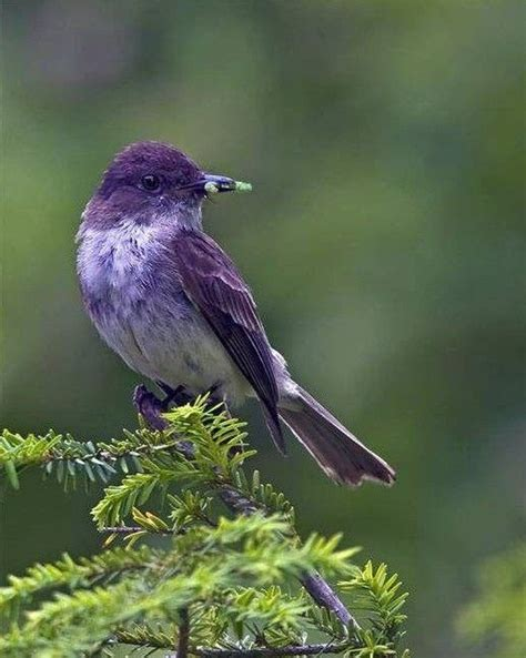 purple martin largest north american swallow a most