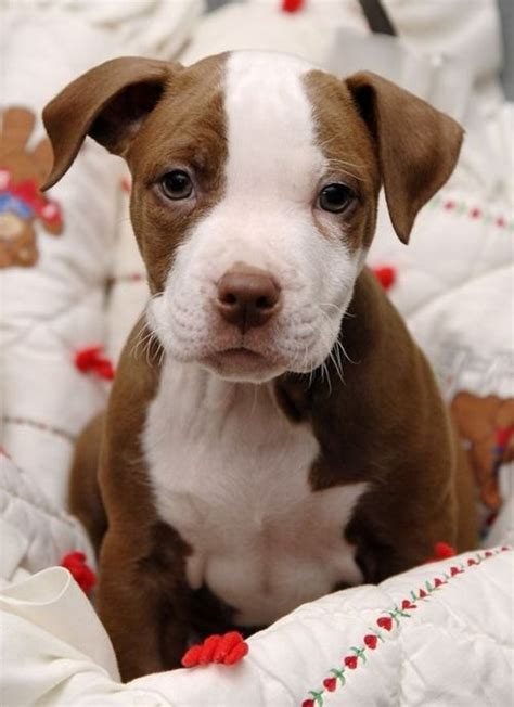 66 best images about breed list on pitbull