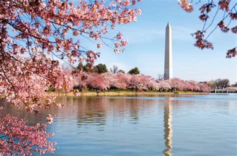 washington d c cherry trees cherry blossom in washington d c tour 1