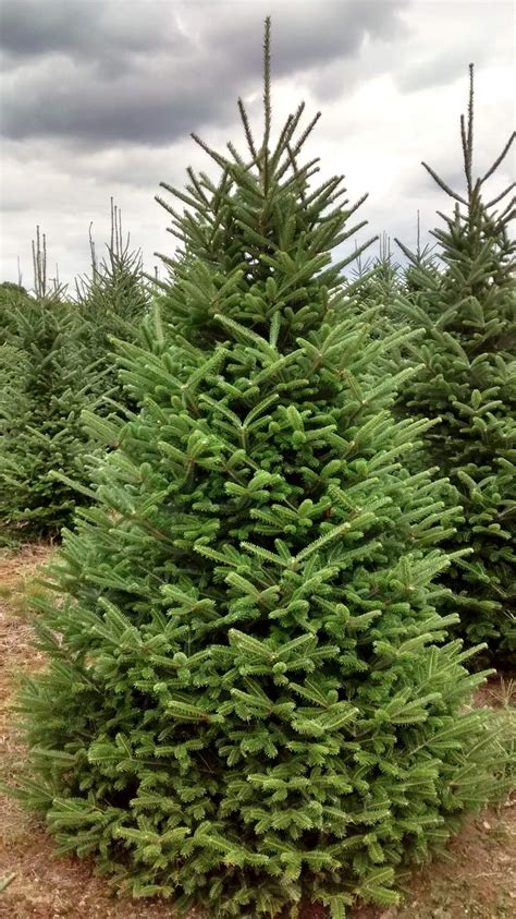fraser christmas tree farm coventry ri beatiful tree