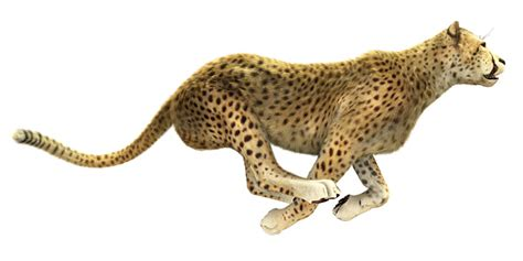 Turns Cheetah by New Drivers Thoughts On The Speed Of Your Right Turn